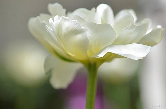 White Green Tulip by JoAnn Lense