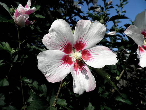 Kate Gallagher - White Hibiscus