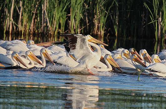 White Pelican Landing by John Dart