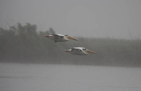 White Pelicans Glide by John Dart