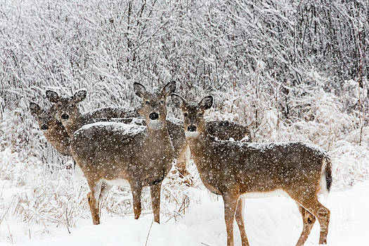 Linda Freshwaters Arndt - White-tailed Deer