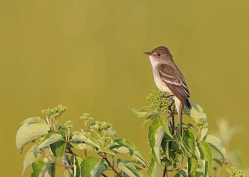 Willow Flycatcher by Daniel Behm