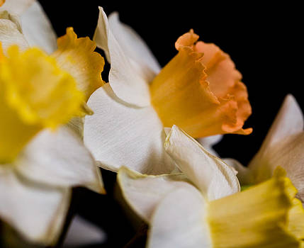 Yellow Daffodils by John Holloway