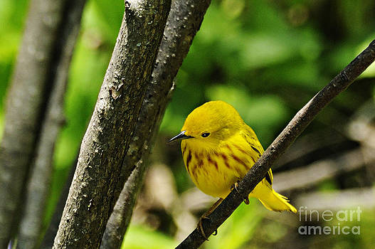 Larry Ricker - Yellow Warbler