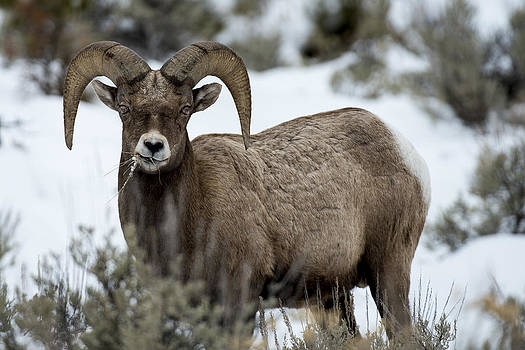 Yellowstone Ram by David Yack