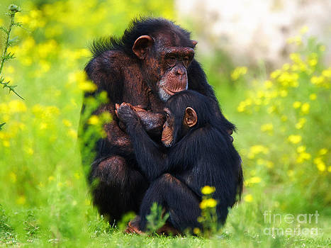 Nick  Biemans - Young Chimpanzee with adult