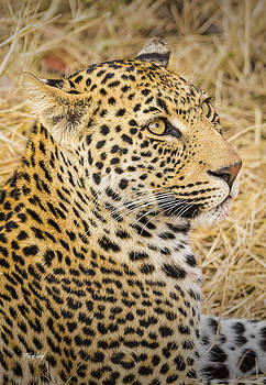 Young Male Leopard Cub by Fred J Lord