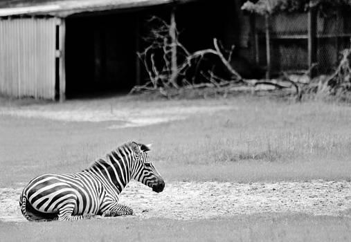 Paulette Thomas - Zebra