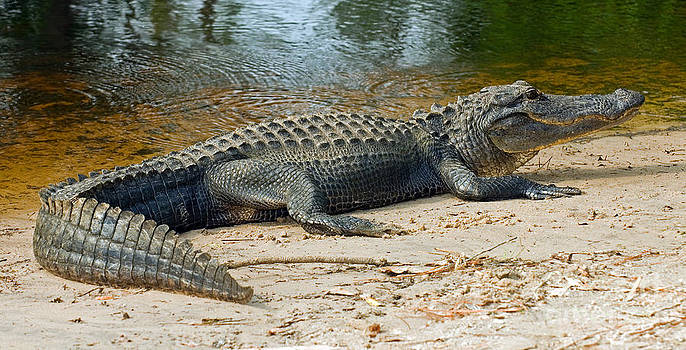 Millard H. Sharp - American Alligator