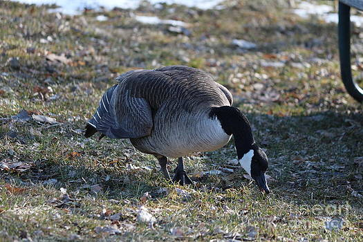 Canada Geese by Lori Tordsen