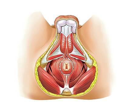 Muscles Of Perineum by Asklepios Medical Atlas