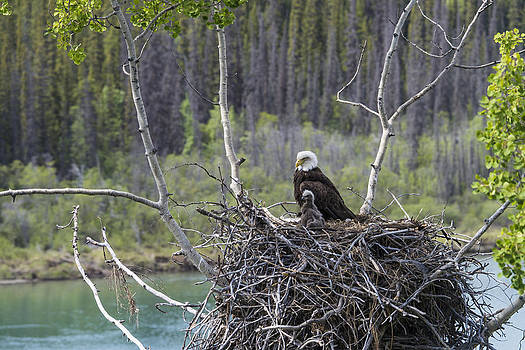Bald Eagle Nesting by Mark Newman