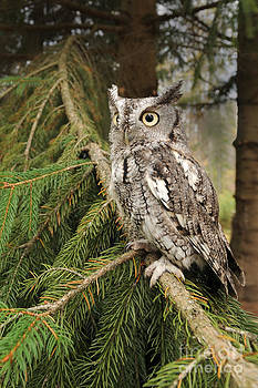 Scott Linstead - Eastern Screech Owl
