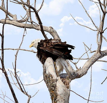 Bald Eagle by Lori Tordsen
