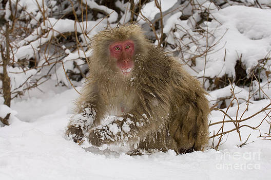 John Shaw - Japanese Macaque