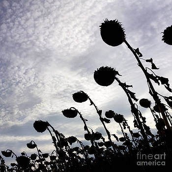BERNARD JAUBERT - Sunflowers