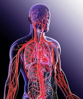 Human Cardiovascular System by Pixologicstudio