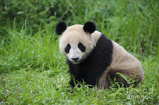 John Shaw - Giant Panda