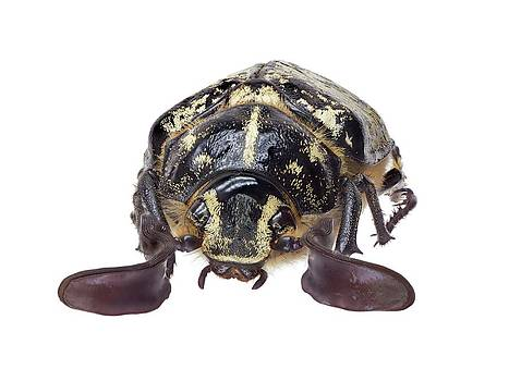 Scarab Beetle by F. Martinez Clavel