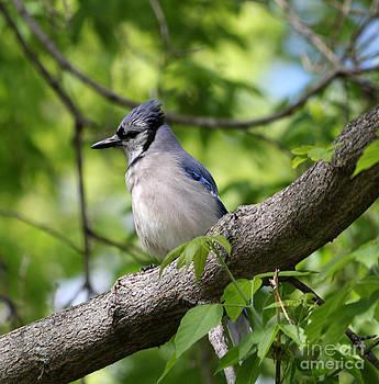Blue Jay   by Lori Tordsen