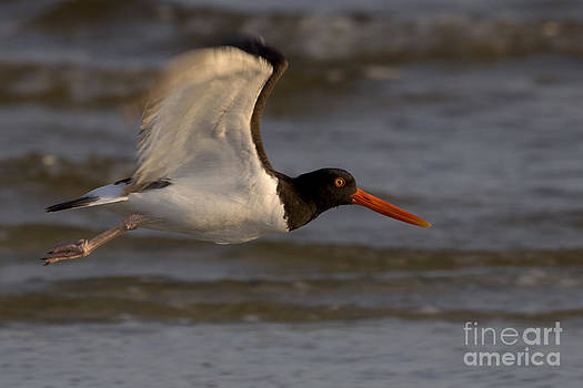 American Oystercatcher Photo by Meg Rousher