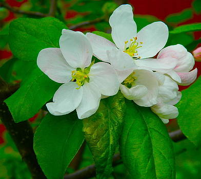 Apple Blossoms by Johanna Bruwer