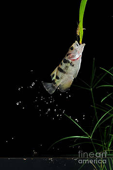 Scott Linstead - Archerfish