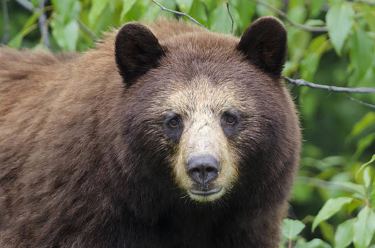 Beautiful Cinnamon Black Bear by Lisa Hufnagel