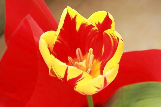 Beautiful colorful tulip by Diana Dimitrova