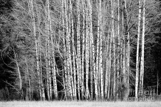 Birches 1 by Steve Patton