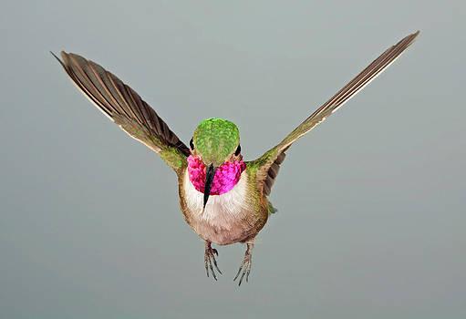 Gregory Scott - Broadtail Hummingbird Visualized