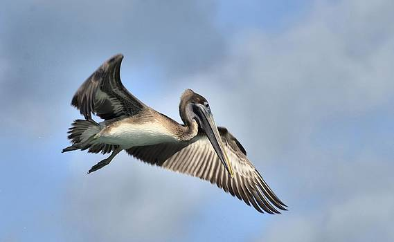 Brown Pelican by Bill Hosford