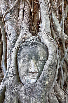 Buddha Head in Tree by Fototrav Print