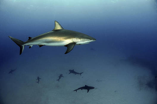 Caribbean Reef Shark by Greg Amptman