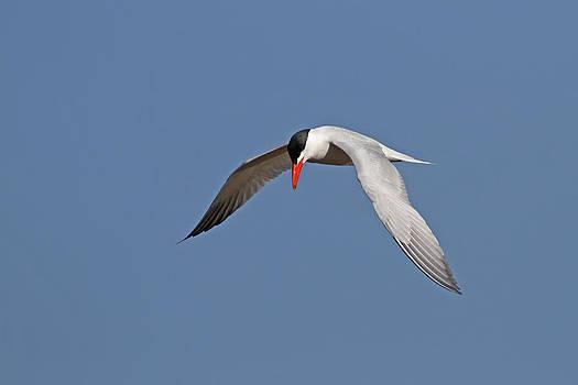 Caspian Tern by Jim Nelson