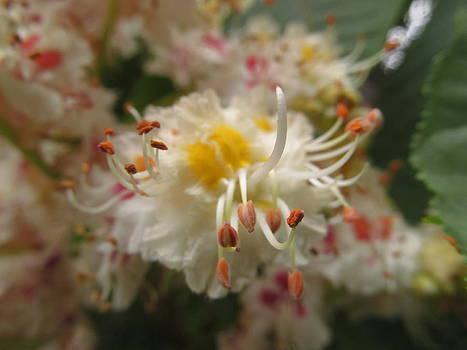 Alfred Ng - chestnut flower