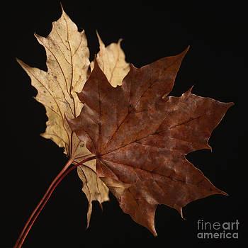 BERNARD JAUBERT - Chestnut leaf