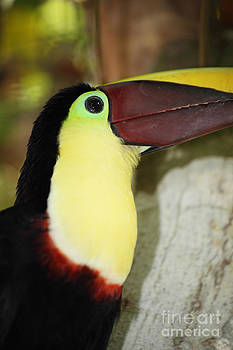 James Brunker - Chestnut mandibled toucan portrait