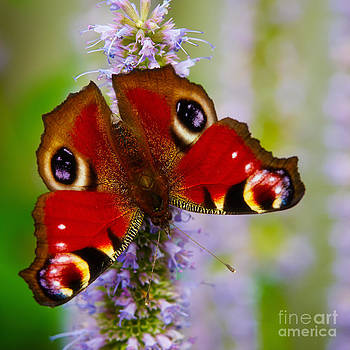 Nick  Biemans - Closeup of an European Peacock butterfly