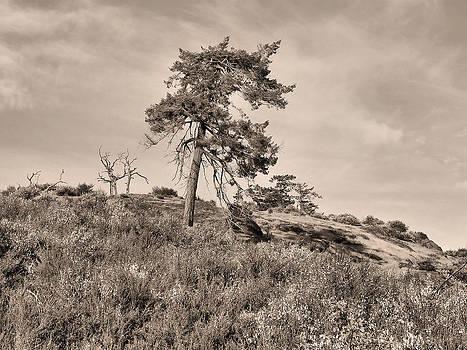 Conifer by Cheryl Hoyle