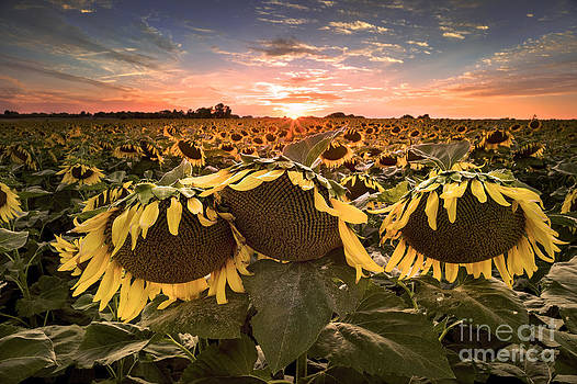 Field of Sunflowers at Sunset by Brandon Alms