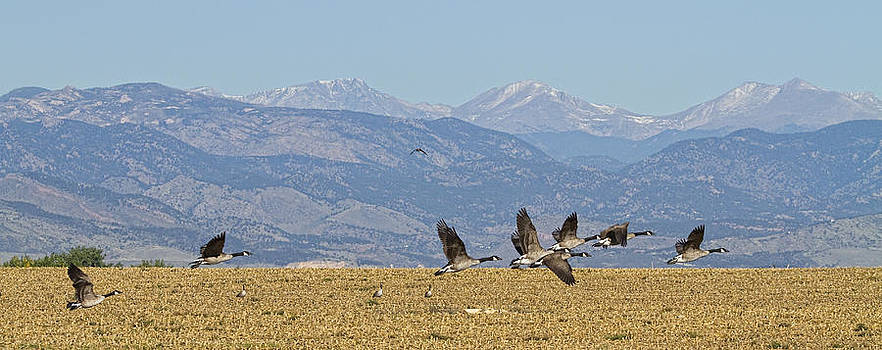 James BO  Insogna - Flying Canadian Geese Colorado Rocky Mountains 1
