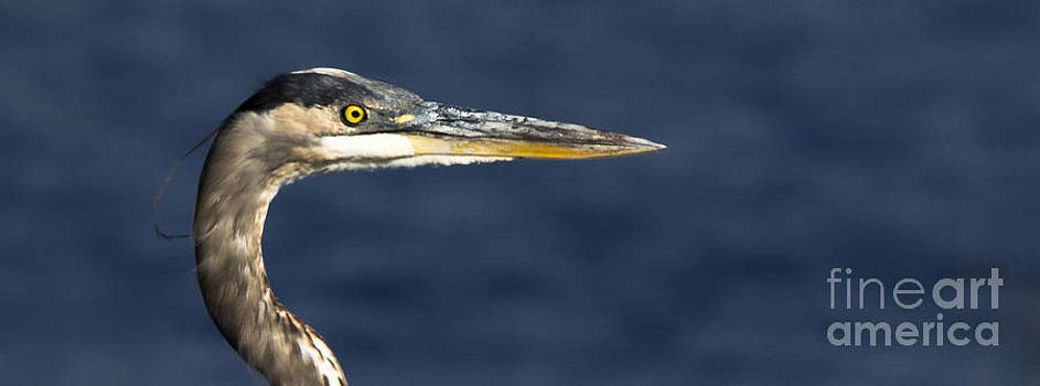 Great Blue Heron by Ursula Lawrence