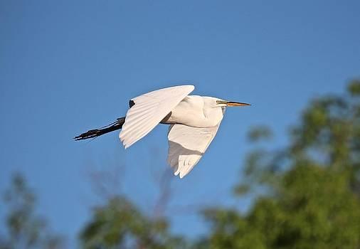 Great Egret Flight by John Dart