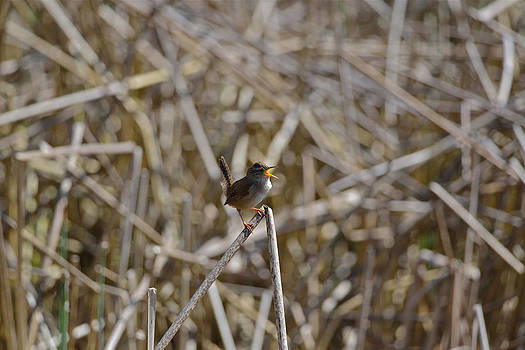 Here I am - Marsh Wren by Kathy King