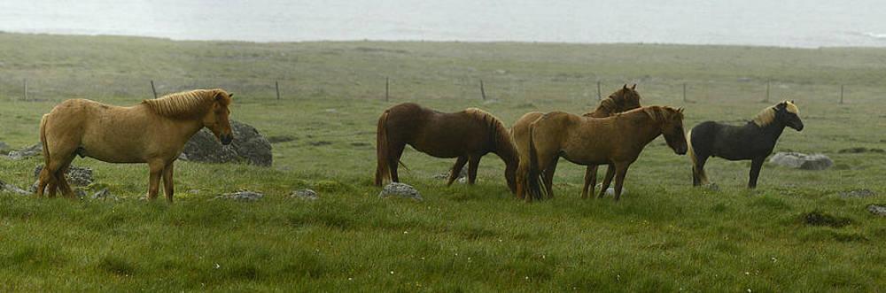 Icelandic Horses, Equus Ferus Caballus by Raul Touzon