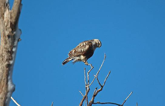 Krider's Red-tailed Hawk by John Dart