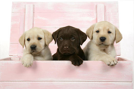 John Daniels - Labrador Retriever Puppies