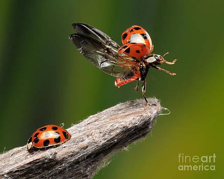 Scott Linstead - Ladybug Taking Off