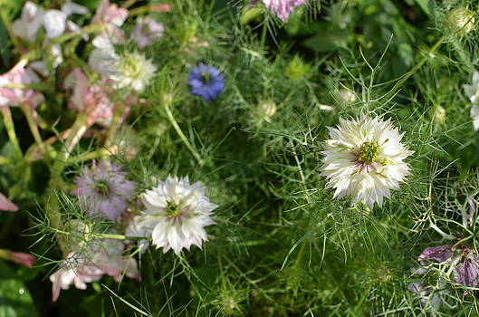 Love in a Mist by Louise Morgan